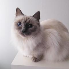 Tur att jag har foton kvar (här på Lyra)  nu när katterna flyttat hem till sig igen. #kattvakt no more