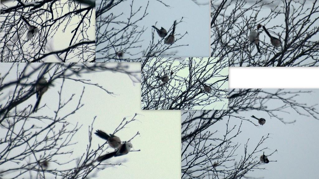 birds nef1