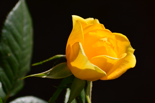Winter yellow rose - Rosa amarilla de invierno