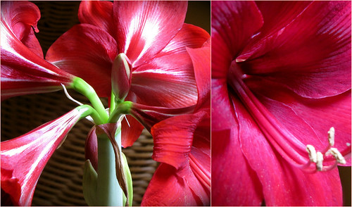 Amaryllis Collage