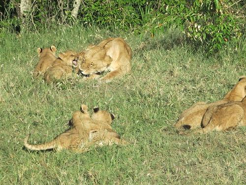 Lõvipere pärast hommikusööki by elviina