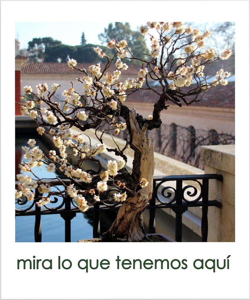 flores del Ume bonsái (Prunus mume)