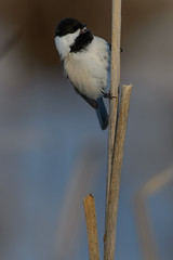Chickadee_40376.jpg by Mully410 * Images