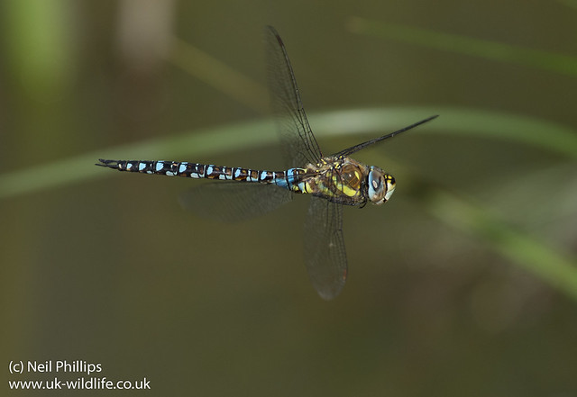 Migrant hawker Aeshna mixta in flight