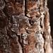 Garden Inventory: Black Pine (Pinus nigra) - 8