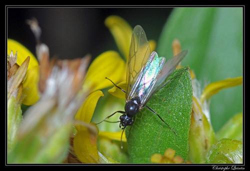 Formica sp. mâle