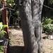 Garden Inventory: Ash Tree - 14