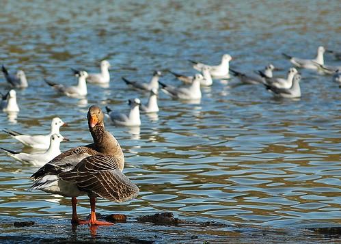 Duck 1 by birbee