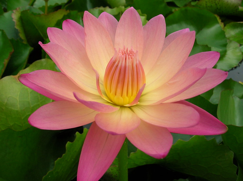 Nymphaea 'Afterglow'   (color tramonto)