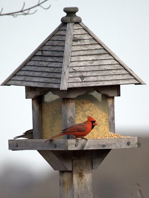 Northern Cardinal 20130218