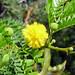 Small photo of Acacia karroo . Fabaceae