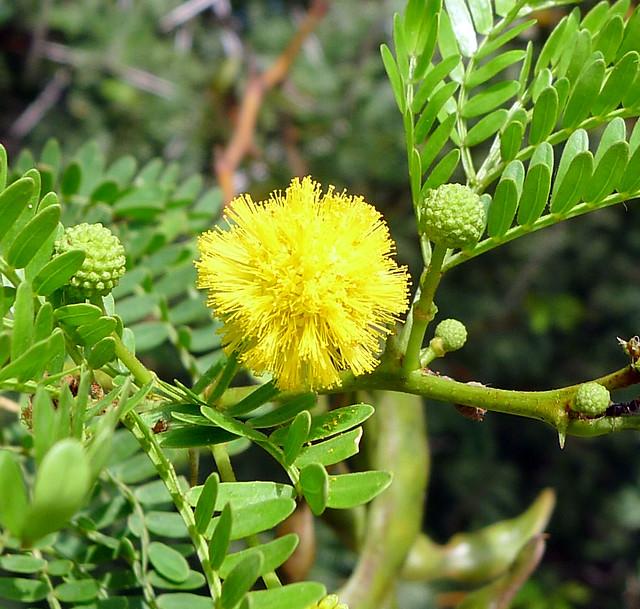 Header of Acacia karroo