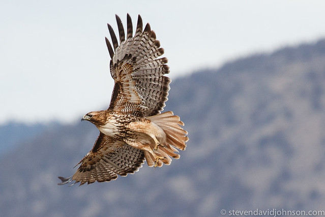 Red-tailed Hawk near Klamath Basin National Wildlife Refuge - taking off from irrigation pipe (detail)