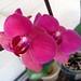 Phalaenopsis fuxia