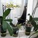 3 Phalaenopsis in vasi di vetro