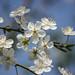 White Blossom Bokeh by rosejones1uk