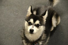 dog breed, animal, dog, alaskan klee kai, pet, greenland dog, sled dog, carnivoran,