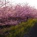 sakura by rahen z