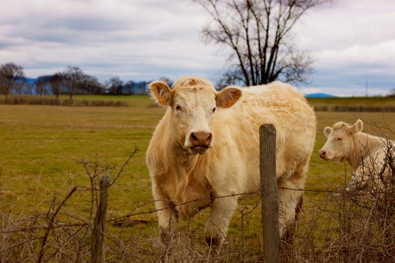 muu, la vaca