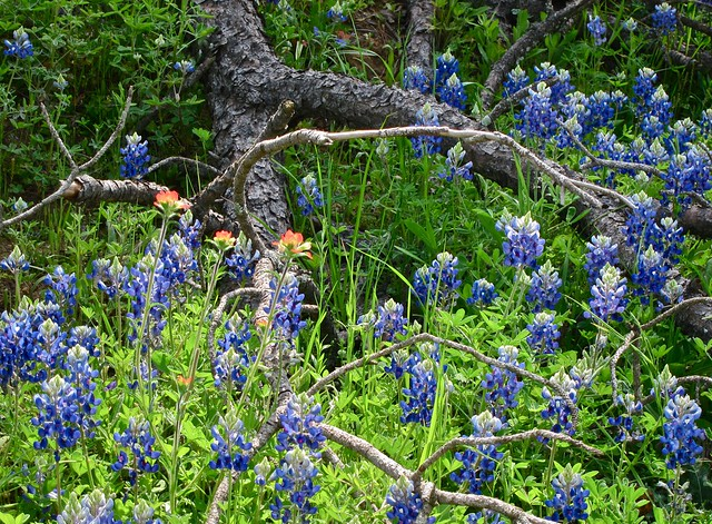 TX Wildflowers-2013 - 3