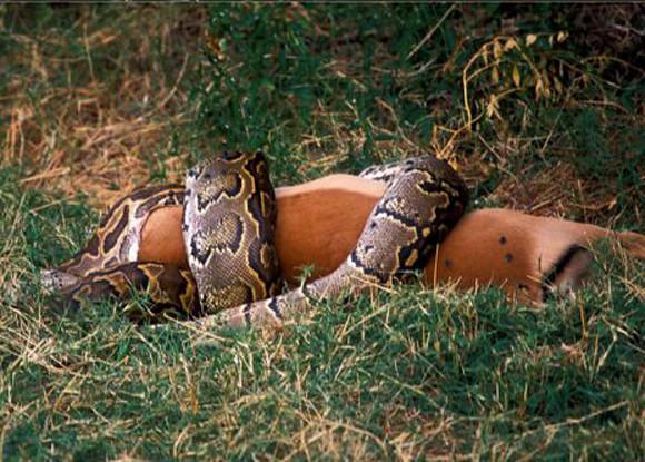 how to kill an anaconda