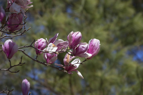Saucer Magnolia Blooms by bahayla