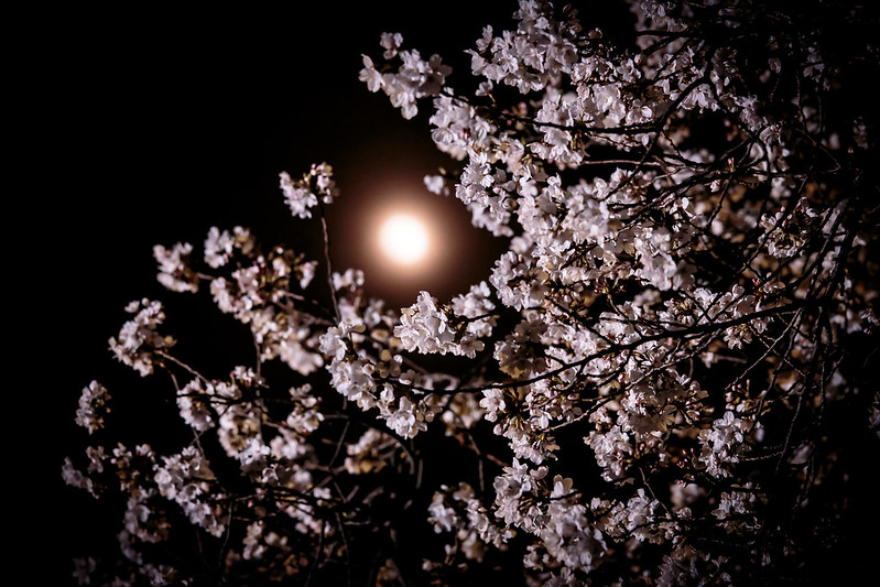 Pale moon,Cherry blossoms.