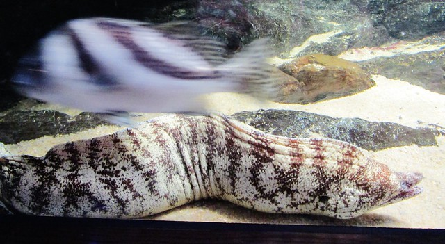Muraenidae Family --  a moray eel 4642 (2)