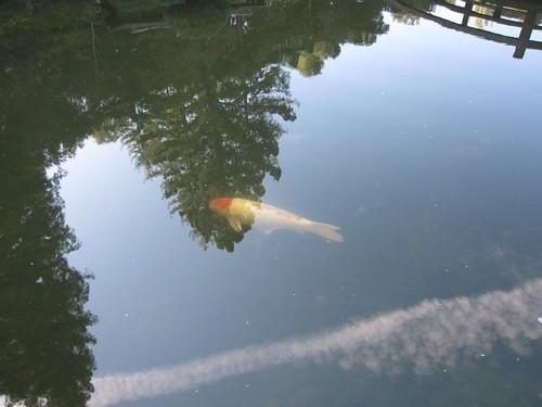 Hakone Japanese Gardens, Saratoga, CA, coi,… IMG_2459