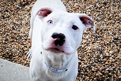 Tucker, Pitt mix with one gorgeous blue eye. Loves to play! Photographed 1/5/13.