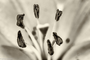 BnW macro lily parts | by bizzano