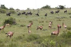 adventure(0.0), mustang horse(0.0), elk(0.0), impala(0.0), animal(1.0), prairie(1.0), steppe(1.0), antelope(1.0), wildebeest(1.0), plain(1.0), mammal(1.0), herd(1.0), grazing(1.0), fauna(1.0), meadow(1.0), pasture(1.0), savanna(1.0), grassland(1.0), safari(1.0), wildlife(1.0),
