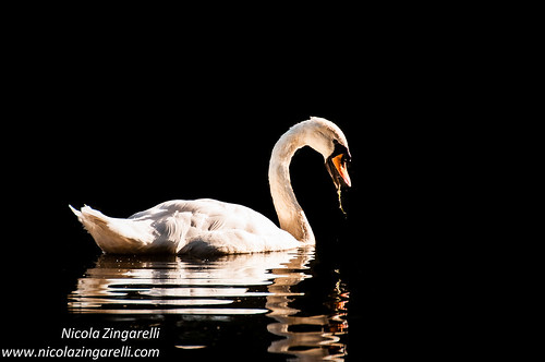Swan against black background by Nicola Zingarelli