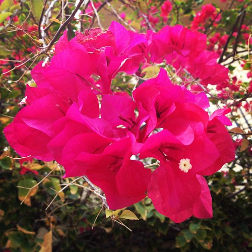 These #grow all over #southflorida. I love them. #projectlife365 #bougainvillea