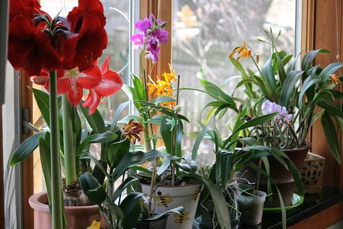 orchid window 090
