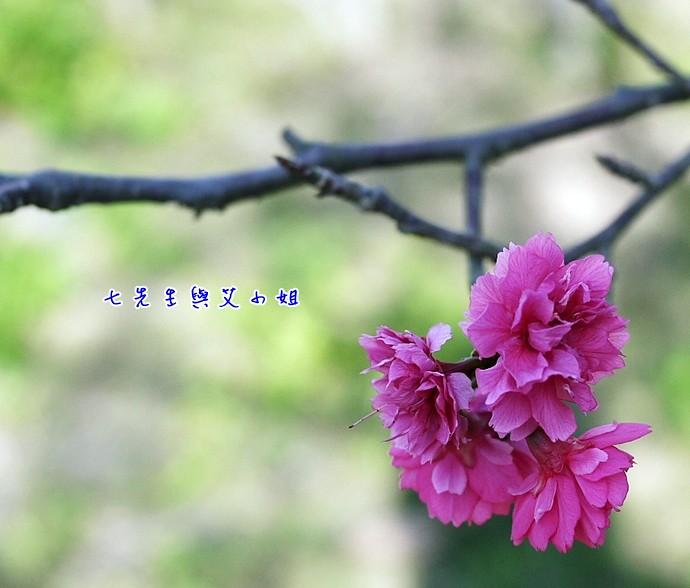 11 櫻姿煥花