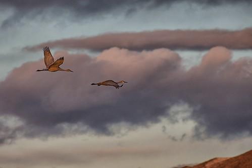 morning newmexico bird birds clouds dawn fly crane flight cranes bosquedelapachenationalwildliferefuges