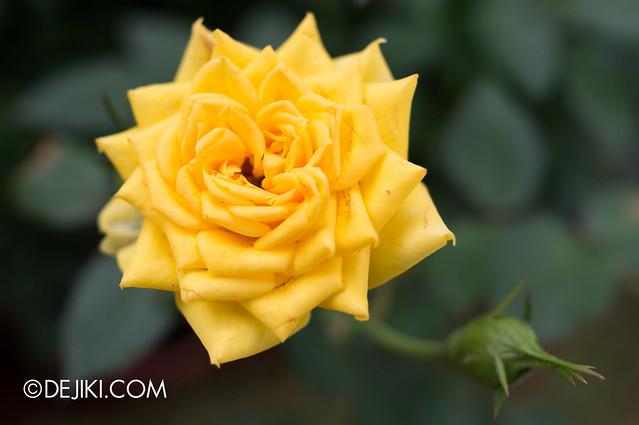 Sentosa Flowers 2013 - Angular Yellow