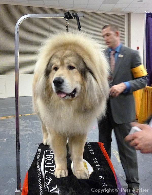 2013 Westminster Kennel Club Dog Show: Tibetan Mastiff GCH Sierras'Sasha-Yakone Nanuk