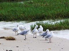 Sunbathing Sea Gulls. Cairns, Australia