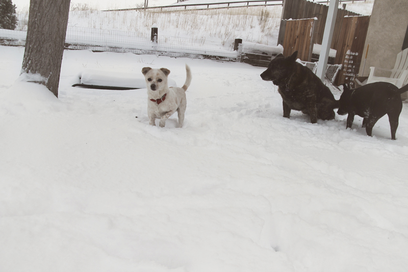dogs-playing-in-snow-7