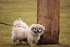 dog breed, animal, puppy, dog, pet, mammal, tibetan spaniel,