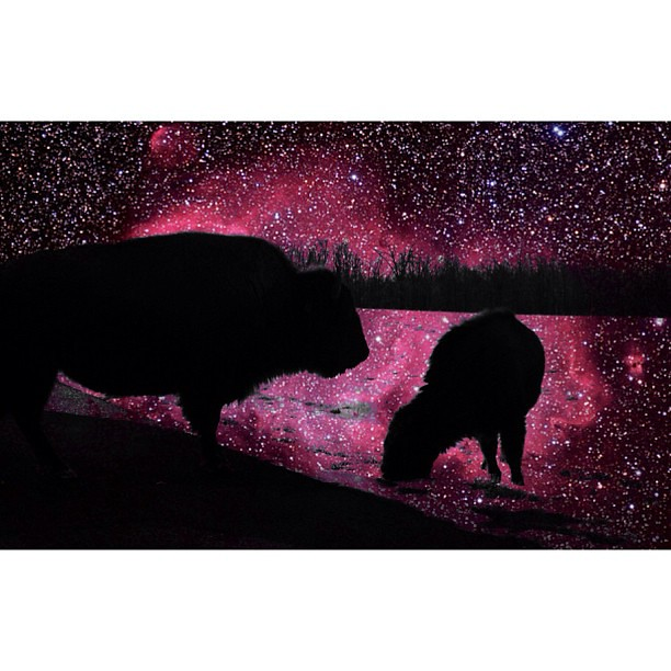 bison at land between the lakes x running bison nebula