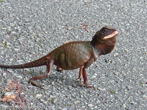 R0021677 copy Titiwangsa horned lizard (Acanthosaura titiwangsaensis)