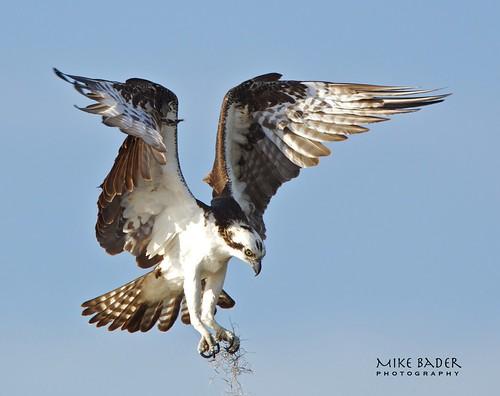 birds florida wildlife raptor osprey avian birdsofprey floridawildlife floridabirds bluecypresslake