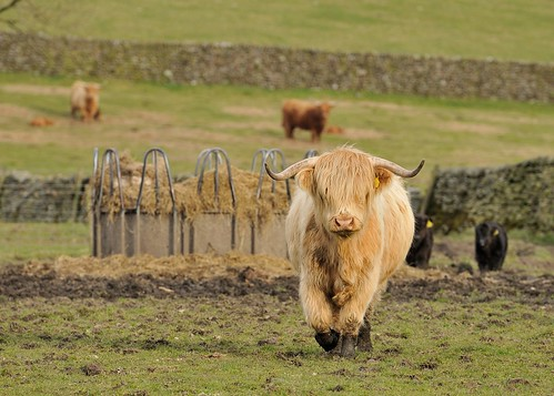 Hellifield Highland Beef by Andy Pritchard - Barrowford