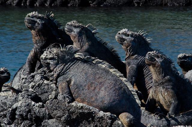 Galapagos Reptiles: Marine Iguanas