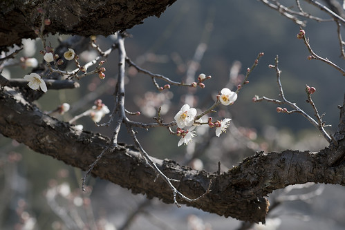 Japanese plum flower