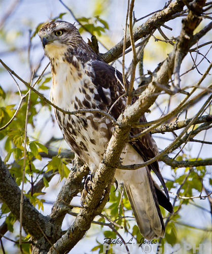 A Handsome Hawk I spotted near UW Parkside by Ricky L. Jones Photography