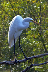 animal, nature, green, fauna, great egret, heron, beak, crane-like bird, bird, wildlife,